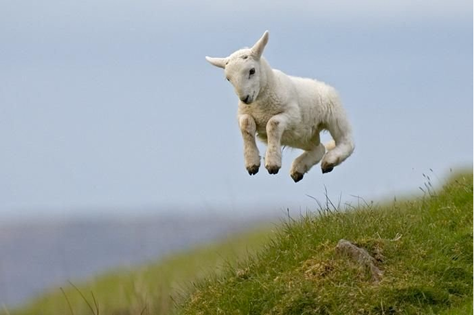 A springing lamb